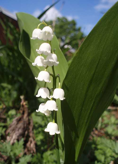 Deep roots magazine ladders to heaven a legend it is a lily as white and as fragrant as the lily of the mightylinksfo