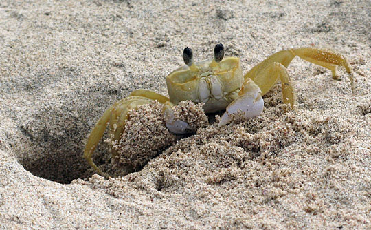 A sand crab on the beach: 'Don't hurt it—it's a part of nature!'