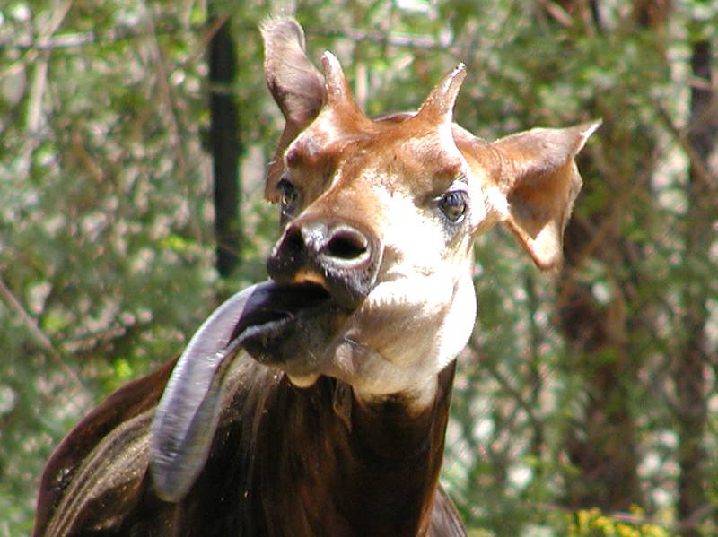 an okapi shows off its 18-inch tongue