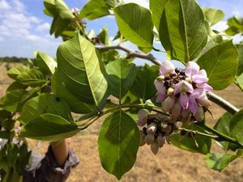 The oil from the seed of the Pongamia tree can be used in industrial applications like biodiesel and sprays, while the protein-rich seedcake can be used in the manufacture of animal feed. (Photo: TerViva)