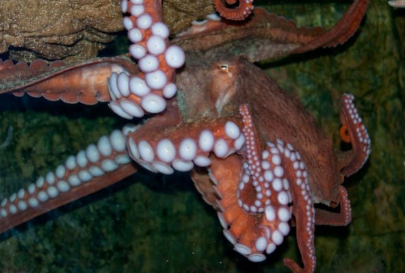 Octavia the octopus, whom Sy Montgomery saw laying eggs at the New England Aquarium: 'They're such devoted mothers. And in the wild, they will never eat again, once they lay their eggs, because they will not leave those developing eggs. Not to hunt, or to eat. They will never leave them.'