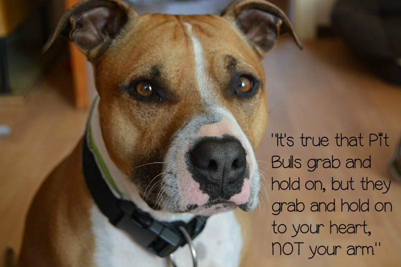 pitbulls-grab-on-to-your-heart-